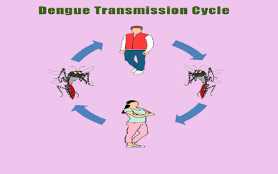 Dengue transmission cycle