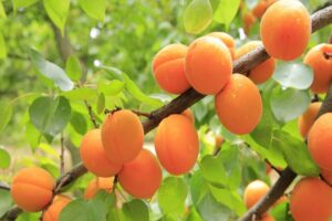 Dried Apricot Benefits In Hindi
